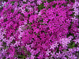 Flower Garden App by Creeping Phlox Flowers Make Sure To Visit Gardenanswers Com And