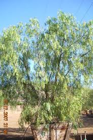 san diego trees oaks ranch san marcos