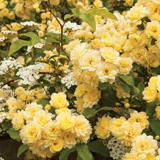 lady banks is an old fashioned favorite rosa banksiae cultivar