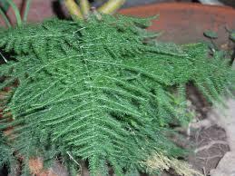 Plant Diseases Wikipedia - asparagus genus wikipedia