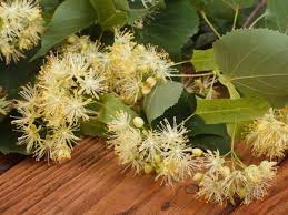 linden flower 7 interesting benefits of linden organic facts
