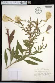 plants native to alabama oenothera grandiflora species page apa alabama plant atlas