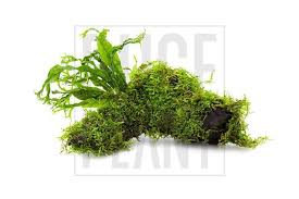 christmas moss and windelov java fern on driftwood u2013 buce plant