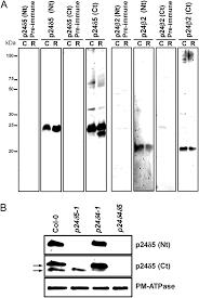 characterization of p24 antibodies a characterization of