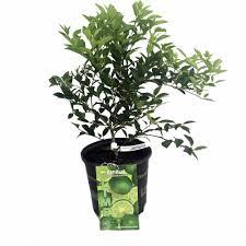 amazon com key lime tree 8