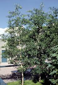 Backyard Trees For Shade - 47 best shade trees images on pinterest shade trees garden
