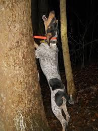 bluetick coonhound dander ukc forums gr nt ch leon u0027s darkside