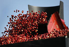massachusetts cranberry harvest expected to drop news the