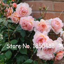 china with roses popular china roses buy cheap china roses lots from china china
