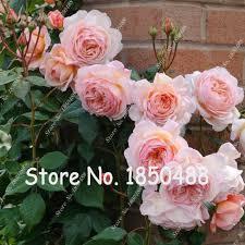 popular china roses buy cheap china roses lots from china china