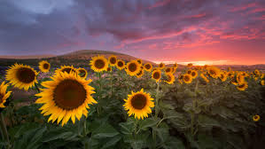 sunflower pictures sunflower sunset nick page photography