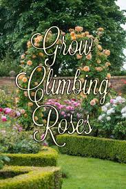 120 best climbing roses images on pinterest climbing roses