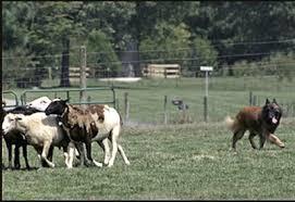 belgian sheepdog ohio ohio valley belgian tervuren club home