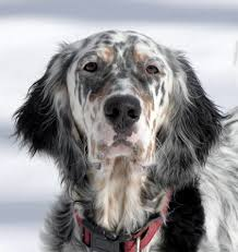 types of setter dog breeds english setter page 1