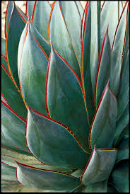 16 gorgeous agave plants sunset