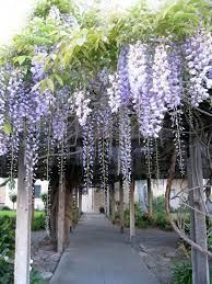 wisteria arch note to northerners there is a winter hardy