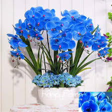blue orchids for sale hot sale 9 varieties phalaenopsis seeds perennial flowering plants