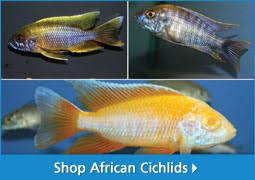 freshwater fish aquarium fish for sale thatpetplace