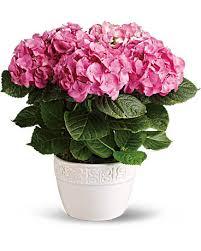 pink hydrangea happy hydrangea pink plant teleflora