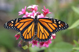 frequently asked questions about butterflies butterfly faq