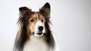 belgian sheepdog dogs 101 shetland sheepdog dog breed selector animal planet