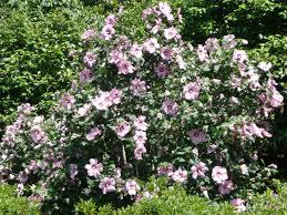 native louisiana plants althea aphrodite u0027 althea summer flowering shrub lsu agcenter