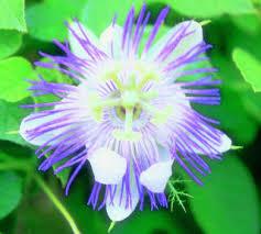 Blue Flower Vine - blue passion flower vine