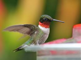 an introduction to hummingbirds bird watcher u0027s digest