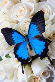 blue butterfly on white roses by garry butterflies are free