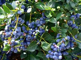 amazon com hirt u0027s top hat dwarf blueberry plant bonsai patio