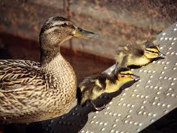 where can i buy duck terrible duck r buy rent sell boston