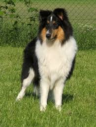 bearded collie and border collie mix rough collie breed information history health pictures and more