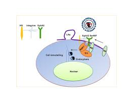 hormones may promote infection by virus that causes kaposi u0027s sarcoma