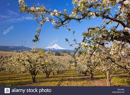 apple blossom trees in river valley columbia river gorge with