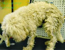 grooming a bedlington terrier puppy my furry friends pet grooming u0026 self serve pet wash before