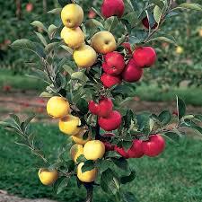 Best Fruit Trees For North Carolina - multi grafted fruit trees stark bro u0027s custom graft fruit trees