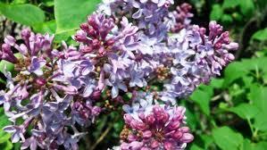 flowers summer bush lilacs flowers lilac rose flower hd live