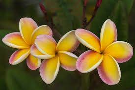 plumeria flowers three pink and yellow plumeria flowers hawaii photograph by