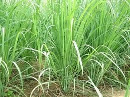 Flowers That Keep Mosquitoes Away Amazon Com Clovers Garden 2 Nicely Sized Lemongrass Plants Live