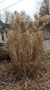 non native invasive plants 15 best winter id for us invasive plants images on pinterest