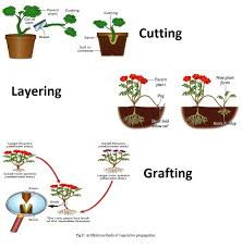 Asexual Reproduction Worksheets Image Gallery Of Asexual Reproduction In Plants Cutting