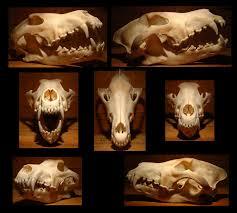 113 best skeletons images on pinterest animal anatomy animal