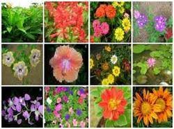 ornamental plants in jaipur rajasthan suppliers dealers