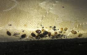 Bed Bugs On Mattress Bed Bug Extermination Texas Pest Solutions