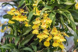 yellow orchids why do orchid leaves turn yellow apr 2018 should i be alarmed