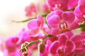 pink orchids tips for buying healthy orchids