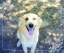 australian shepherd or golden retriever view ad australian retriever dog for adoption arizona chandler usa