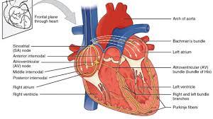 cardiovascular systemthe heart human anatomy charts