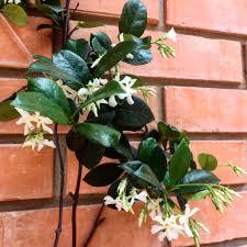 cold hardy jasmine u2013 choosing a jasmine for zone 5 gardens