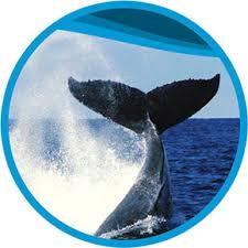 Whale Spirit Of Gold Coast Whale Watching Tours Australia